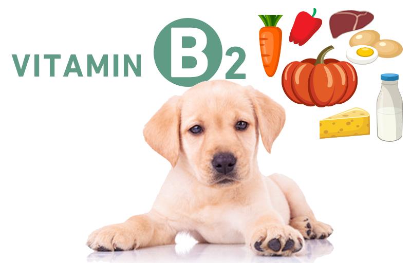犬とビタミンB2(リボフラビン・ラクトフラビン)