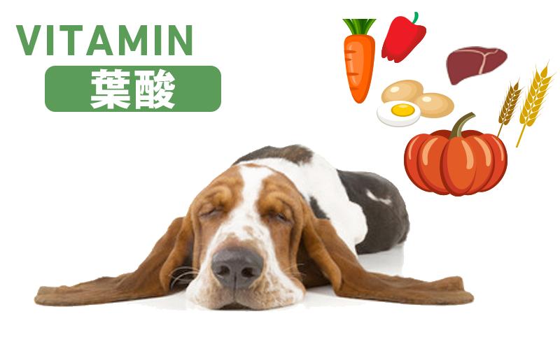 犬と葉酸(プテロイルグルタミン酸・ビタミンM・ビタミンB9)